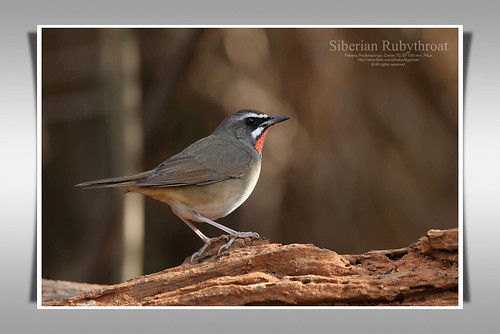 นกคอทับทิม/Siberian Rubythroat | by Pattana's Gallery