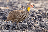 Yellow-necked Francolin by rhysmarsh