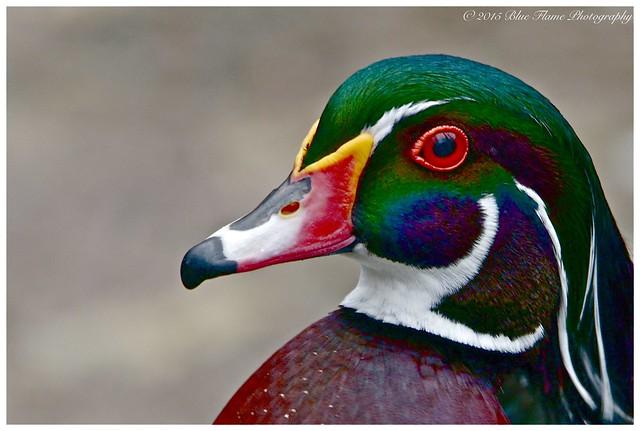 Wood Duck (drake) ©