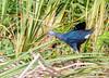 Grey-headed Swamphen (Porphyrio poliocephalus) - TM Goodwin Waterfowl Management Area, Brevard County, Florida by JFPescatore