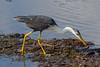 Pied Heron (Egretta (Ardea) picata)(nearing maturity).04 by Geoff Whalan