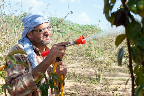 Man sprays nitrate on apple plants