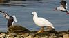 Kelp Goose (Chloephaga hybrida) by Mark Carmody