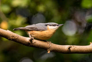 Nuthatch | by www.craigrogers.photography