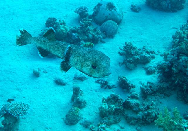 Spot-fin Porcupinefish, Diodon hystrix, Ras Gozlani, Ras Mohammad, June 2015