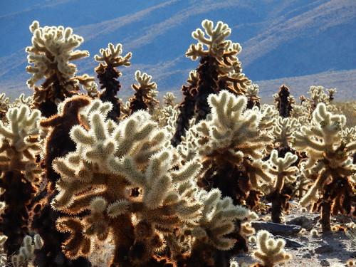 Joshua Tree NP - Cholla Cactus Garden - 1