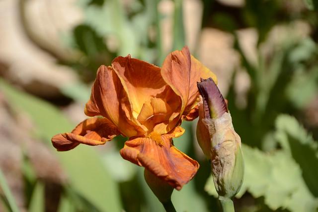 Iris 'Brindisi' - Schreiner 1979 32160222000_cb83e285ab_z
