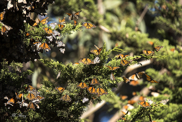 DSC_1346  _ Monarch Butterfly migration