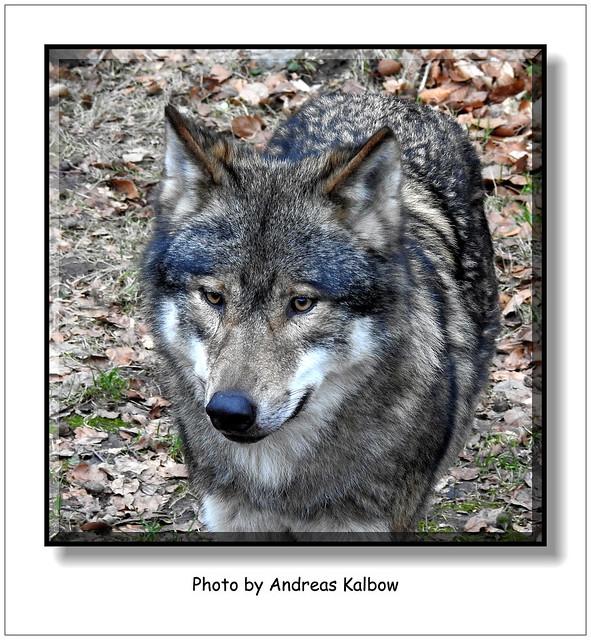 Andreas Kalbow Wolf Canis lupus Olderdissen (2)