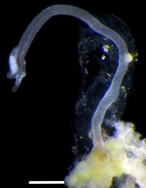 Male Bone Worm