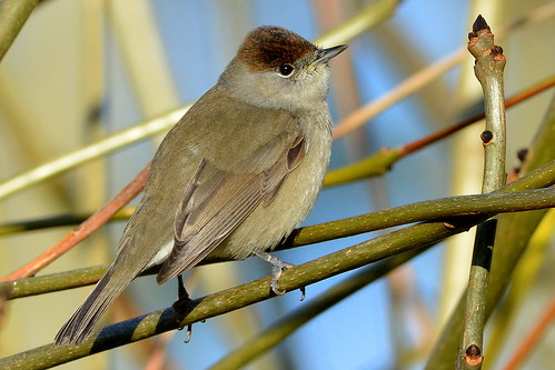 DSC_7675 Blackcap (Explore 12.12.2014) | by Jeff Lack Wildlife&Nature