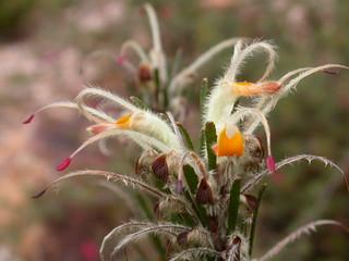 DSCN1622 Adenanthos detmoldii (Scott River Jugflower), National Botanic Gardens, Canberra