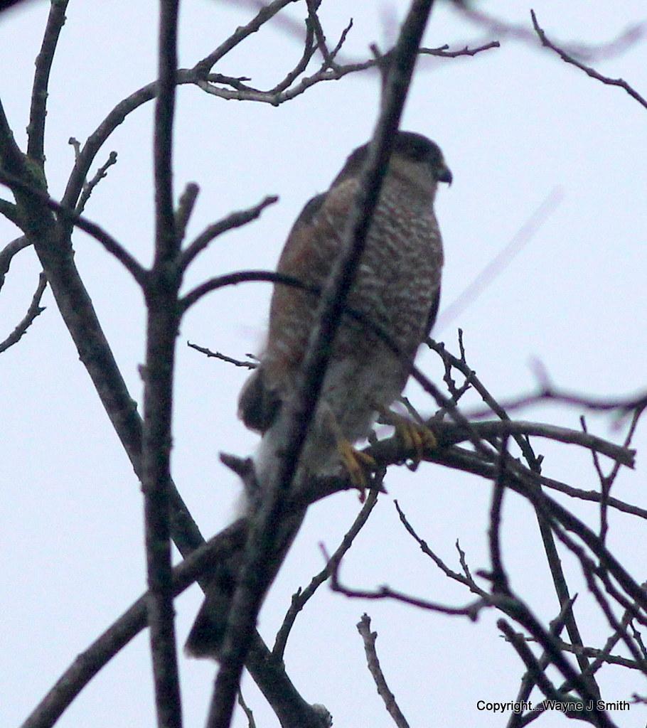 1-Hawks...Yard Birds  12-25-2014 002