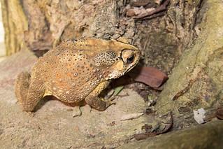 Thai bullfrog