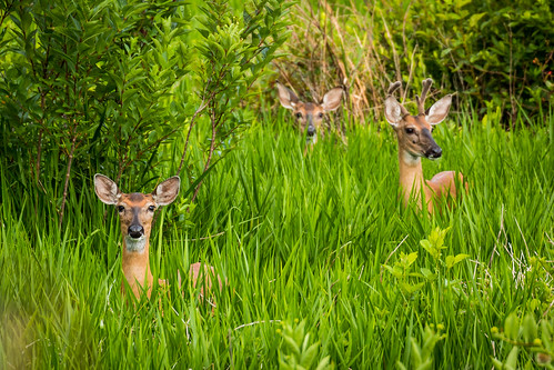 statepark nature animal june canon us unitedstates florida wildlife doe deer buck 2016 outdors 70d goldhead keystoneheights