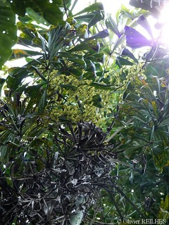 Dypsis pinnatifrons en fleurs | by olivier.reilhes