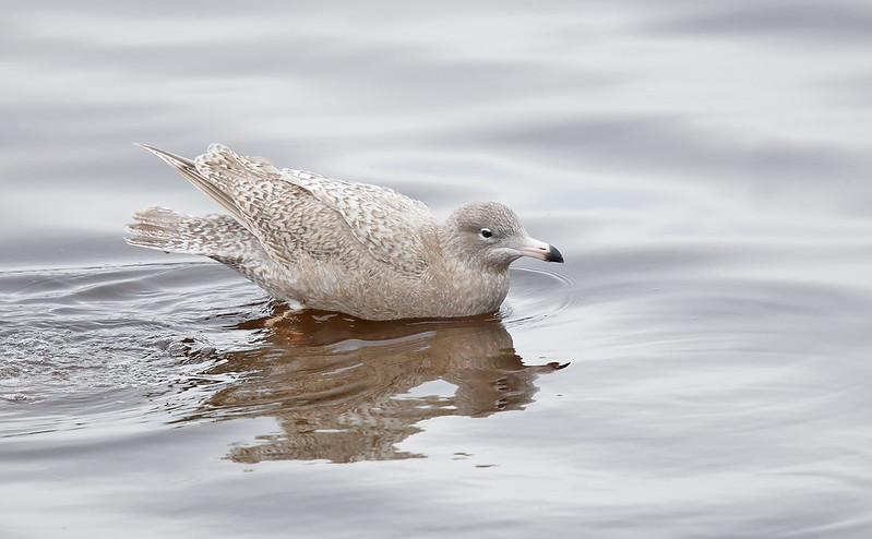 1st winter Glaucous Gull