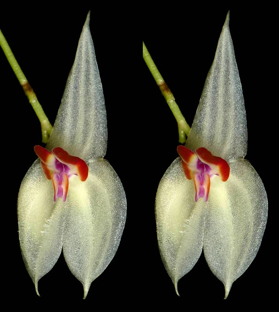 Lepanthes magnifica