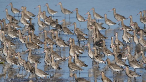 Black-tailed Godwits at Marshside RSPB Southport | by Gidzy
