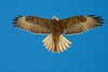 Galapagos Hawk, Buteo Galapagoensis by Nevin's Pics