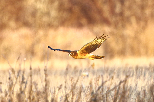 Hunting Northern Harrier At Sunset - Explored