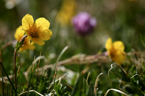 2016 6 26 - Buttercups - CB - DMTI - 9S3A0260 | by Rags Edward