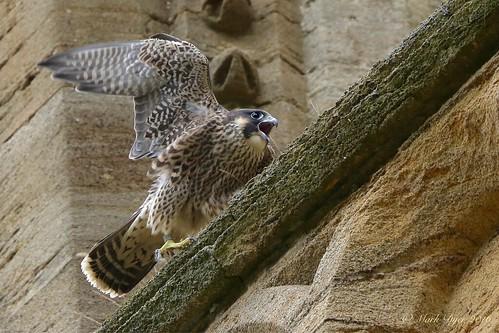 Juvenile Peregrine (Falco peregrinus)