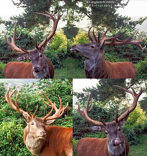 Red Stag at Selfie Cam | by Langbein Wildlife