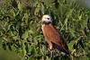 Black-collared Hawk (Busarellus nigricollis) Pantanal, Brazil 2013 by Ricardo Bitran