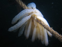 HolderSquid eggs on a rope . Credit: Dr Leigh Howarth