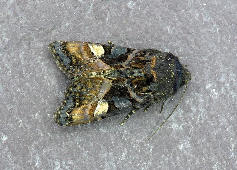 73.114 Small Angle Shades - Euplexia lucipara