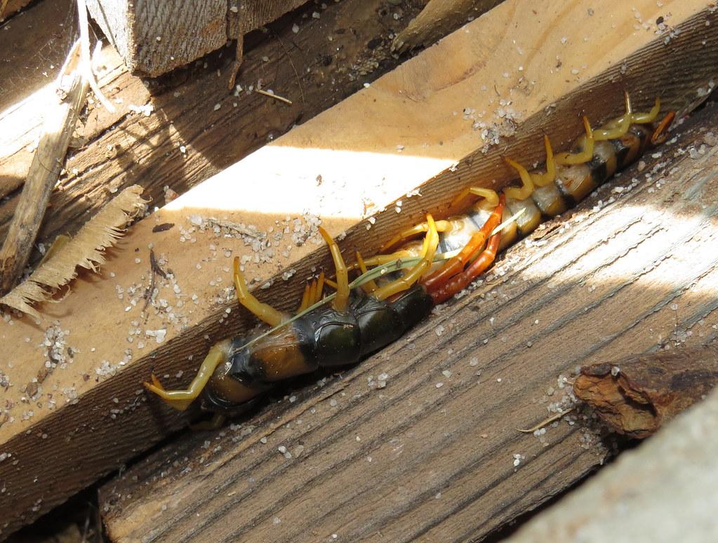 Giant Desert Centipede Giant Desert Centipede Scolopendra Flickr