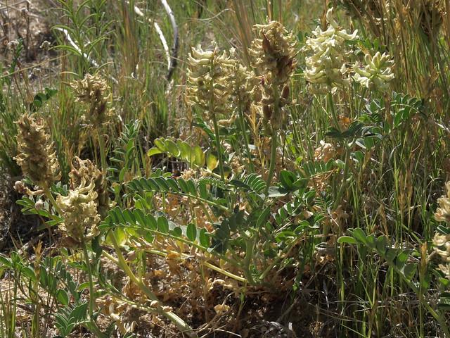 Canada milkvetch, Astragalus canadensis var. brevidens