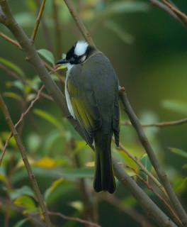 Light-vented bulbul | by Takashi(aes256)