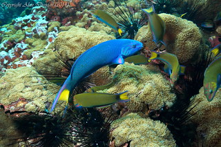 """A male Moon Wrasse with its """"harem"""" of females at Sail Rock, Koh Phangan, Thailand"""