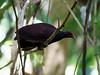 Melanesian Megapode (Megapodius eremita) by David Cook Wildlife Photography