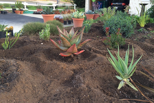 Aloe marlothii and Aloe speciosa planted out in the garden