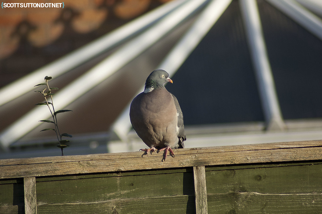 Pigeon on a fence