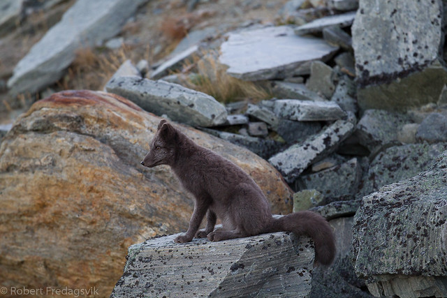 Fjellrev- Arctic fox-09.jpg