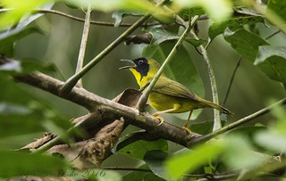 Olive-crowned Yellowthroat (Geothlypis semiflava) male. La Selva Biological Station, Costa Rica | by Esko Veijalainen