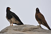 Carancho cordillerano adulto y juvenil/adult and juvenile Mountain caracara  (Phalcoboenus megalopterus) by Javiera C
