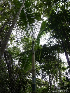 Dypsis sp.   by olivier.reilhes