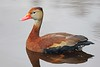 Black-bellied Whistling-Duck (Dendrocygna autumnalis) by JFPescatore