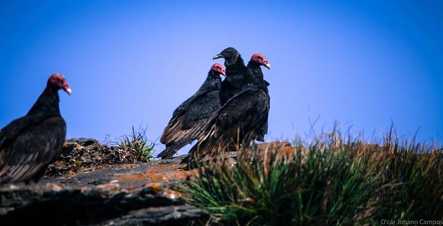 Jote de cabeza colorada - Turkey vulture