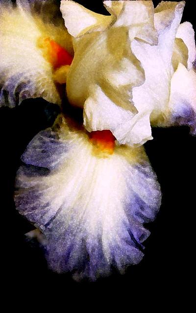 A Bearded Iris in Full Bloom
