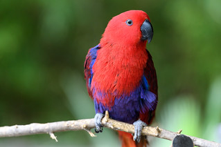 Eclectus Parrot Female | by Eric Kilby