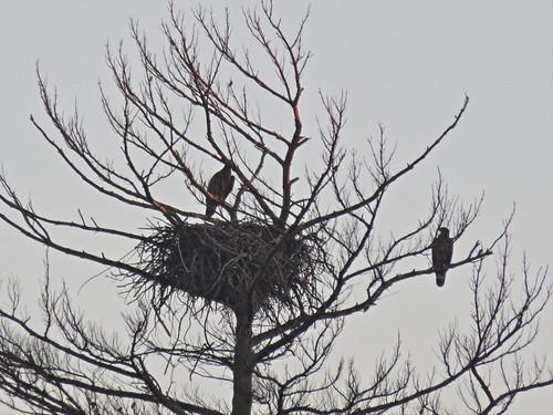 Mooseheart eaglets 20160708