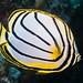 Chaetodon meyeri - Photo (c) zsispeo, algunos derechos reservados (CC BY-SA)