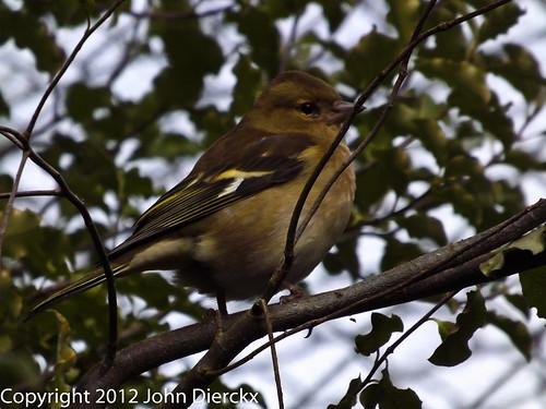 Sparrow | by johndierckx