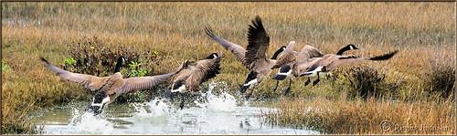 geese marincounty sanfranciscobay canadiangeese flyinggeese cortemaderamarsh rogerjohnson